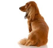 Miniature dachshund Stock Photography