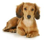 Miniature dachshund Stock Image