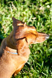 Miniature Dachshund from above in the grass stock photo