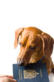 Miniature Dachshund being handed passport Royalty Free Stock Photos