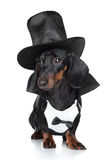 Miniature dachshund in black waistcoat and hat Royalty Free Stock Images