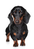 Miniature dachshund close-up portrait Stock Images