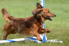 Miniature Dachshund at a Dog Agility Trial Stock Photos
