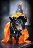 Miniature dachshund Royalty Free Stock Photos