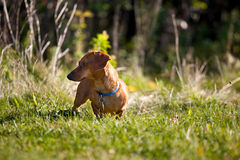 Miniature Dachshund in the grass stock photo