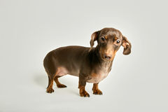 Miniature dachshund looking at camera. Portrait of miniature dachshund looking at camera standing against white background Stock Image