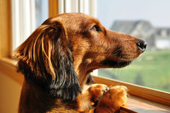Miniature Dachshund Looking out a Window royalty free stock photos