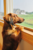 Miniature Dachshund Looking out a Window Royalty Free Stock Photography