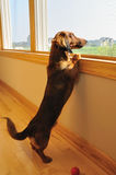 Miniature Dachshund Looking out a Window stock image