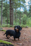 Miniature dachshund in pine forest Stock Photo