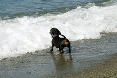 Miniature Dachshund playing on the sea shore Royalty Free Stock Photography