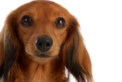 Miniature dachshund portrait Stock Images