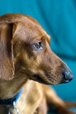 Miniature Dachshund Portrait. Collar visible, with a greenish-blue background Stock Photography