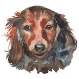 The Miniature Dachshund. Portrait. Hand painted, isolated on white background watercolor dog portrait Stock Images
