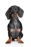 Miniature dachshund Stock Images