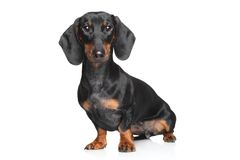 Miniature dachshund Royalty Free Stock Photography