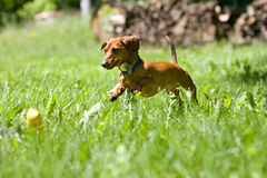 Miniature Dachshund pouncing on toy. A miniature dachshund in mid stride, as he jumps through the tall grasses towards his toy Stock Images