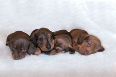 Miniature dachshund puppies on fluffy white blanket. Four young Miniature dachshund puppy lying down on fluffy white blanket facing the camera and going to sleep Stock Photos