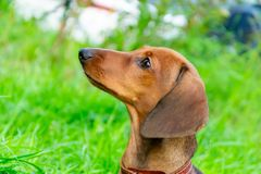 Miniature dachshund puppy with its owner. A young energetic dog is running around for a walk. stock images