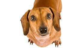 Miniature Dachshund Puppy Looking Up Longingly At The Camera Stock Photography