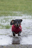 Miniature dachshund puppy running through a puddle Royalty Free Stock Photography
