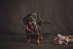Miniature Dachshund puppy with toy on black background Stock Image