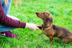 Free Miniature Dachshund Puppy With Its Owner. A Young Energetic Dog Is Running Around For A Walk. Stock Photos - 128070623