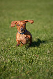 Miniature Dachshund on the run Royalty Free Stock Photos