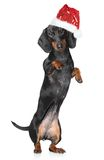Miniature dachshund in Santa hat Royalty Free Stock Images