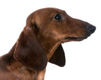 Miniature dachshund Royalty Free Stock Images