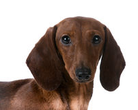 Miniature dachshund Royalty Free Stock Photo