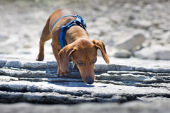 Miniature Dachshund sniffing rocky ledge Stock Images