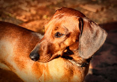 Miniature Dachshund Soft Focused Look Stock Images
