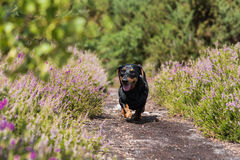 Black and tan smooth-haired miniature Dachshund walking amongst purple heather. Black and tan smooth-haired miniature dachshund walking along path between purple stock photos