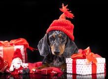 Miniature dachshund wearing santa Stock Image