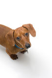 Miniature Dachshund on white series. A miniature Dachshund Purebred dog, isolated on white background, looking up at the camera Royalty Free Stock Image