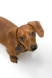 Miniature Dachshund on white series. A miniature Dachshund Purebred dog, isolated on white background, looking up at the camera Stock Photography
