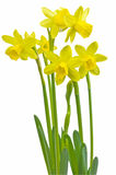Miniature daffodils Royalty Free Stock Photo