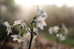 Miniature daffodils or narcissus backlit by morning sun Stock Images