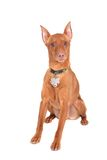 Miniature doberman Stock Photography