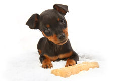 Miniature Doberman Toy Pinsher Puppy Dog Stock Photography