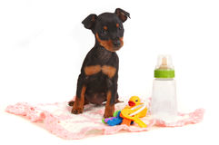 Miniature Doberman Toy Pinsher Puppy Dog Royalty Free Stock Photo