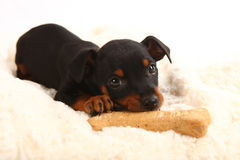 Miniature Doberman Toy Pinsher Puppy Dog Stock Photos