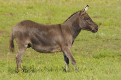 Miniature Donkey. Mediterranean miniature donkey standing in a pasture Stock Image