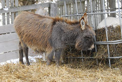 Miniature donkey Royalty Free Stock Image
