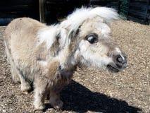 Miniature Donkey Stock Photo