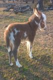 Miniature Donkey. S are very friendly and make the best pets. They are easy to manage and train. They are affectionate, extremely comical and a joy to own. The Stock Image