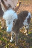 Miniature Donkey. S are very friendly and make the best pets. They are easy to manage and train. They are affectionate, extremely comical and a joy to own. The Royalty Free Stock Photos