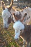 Miniature Donkey Stock Images