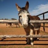 Miniature donkey on farm Stock Image